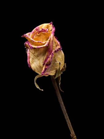 Withered rose isolated on a black background. photo