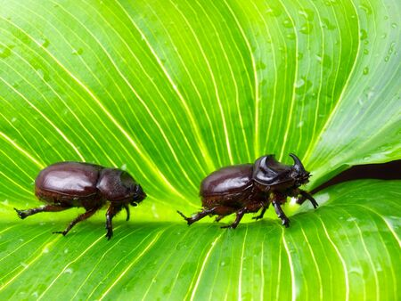 crawly: Couple of Rhino or Scarab beetles on a big green leaf.