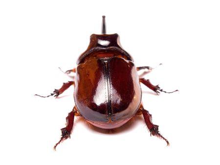 The rhinoceros beetles or rhino beetle are a subfamily of beetles in the family of scarab beetles (Scarabaeidae) photo