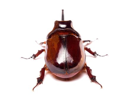 scarabaeidae: The rhinoceros beetles or rhino beetle are a subfamily of beetles in the family of scarab beetles (Scarabaeidae)