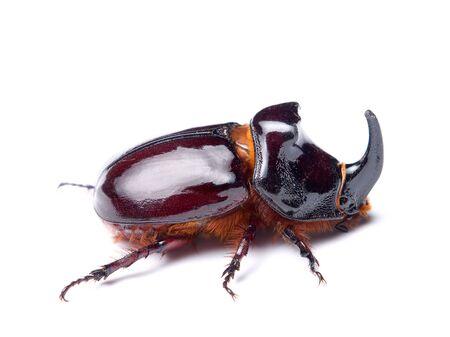 oryctes: The rhinoceros beetles or rhino beetle are a subfamily of beetles in the family of scarab beetles (Scarabaeidae)