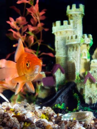 Goldfish in an aquarium. Stock Photo - 8413461
