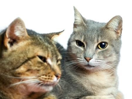 Portrait of two domestic cats on a white background. photo