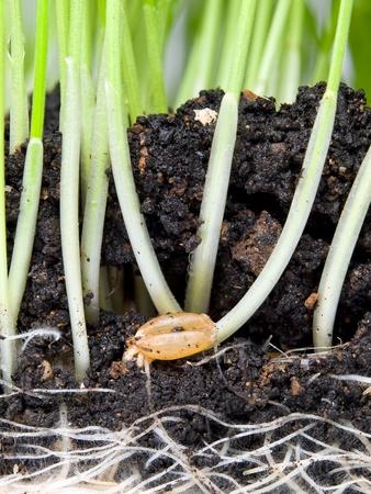 germinaci�n: Closeup vista Seccional de la germinaci�n de trigo en el suelo.