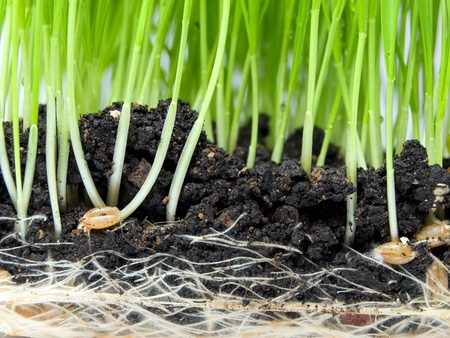 Closeup view of wheat germination in the soil. Stockfoto