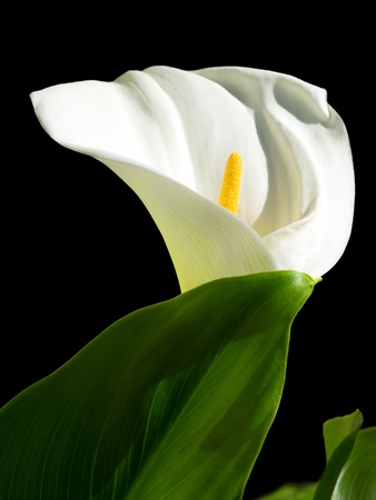 Calla Lily flower isolated on a black background. photo