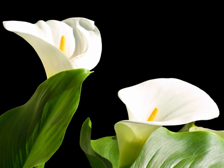 white lilly: Two Calla lilies isolated on a black background.