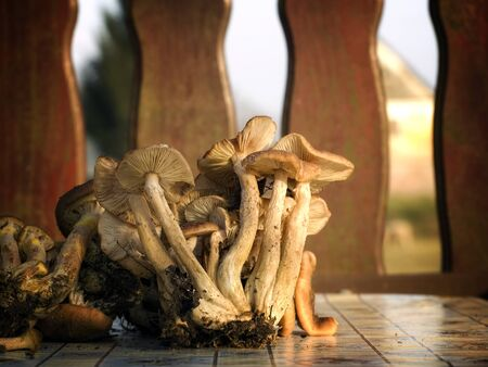 Wild edible mushrooms on the table after the harvest. Stock Photo - 11270695