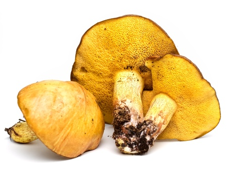 boletus mushroom: Edible bolete pine mushrooms on a white background.