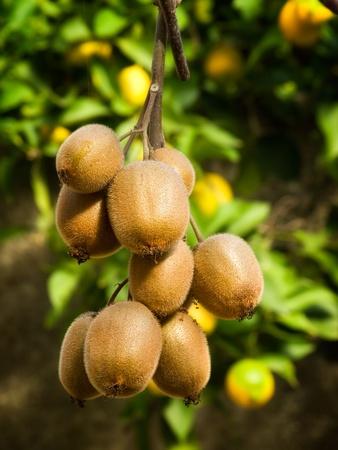 kiwi fruta: Cluster de kiwi maduro en la sucursal.