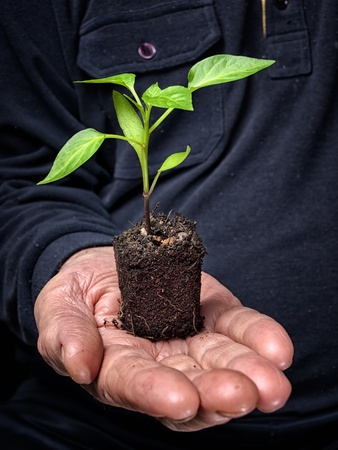lump: Young plant on a lump of soil in a hand of an old farmer