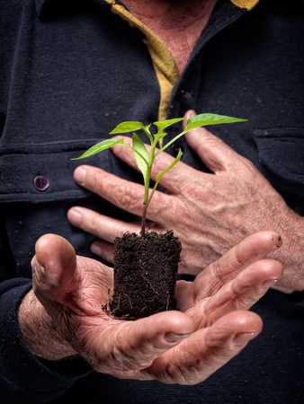 Young plant  is growing on a lump of soil in hands of an old farmer  photo