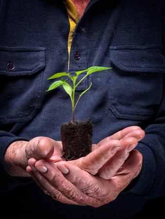 planting: Young plant  is growing on a lump of soil in hands of an old farmer  Stock Photo