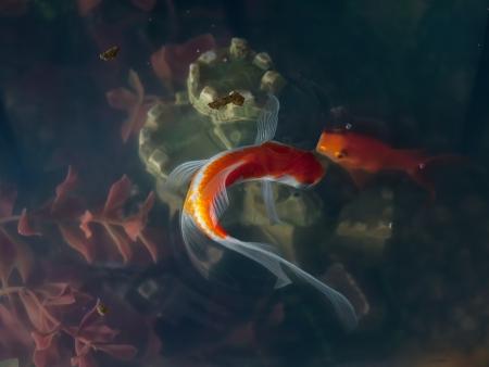 freshwater aquarium: Goldfish in an aquarium on the surface above the castle