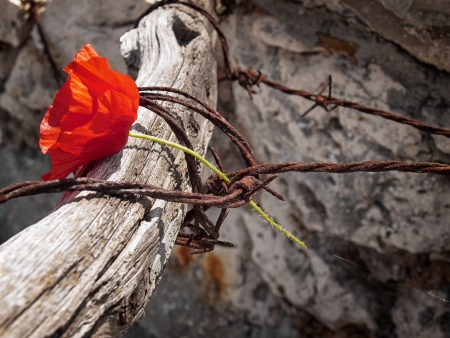 captivity: Conceptual image about struggle for freedom, is represented with red poppy flower and rusty barbed wire. Stock Photo