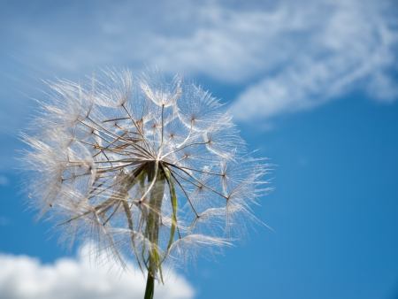 blue dandelion: Dandelion exposed to strong wind under blue sky. Stock Photo