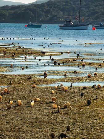 ebb: Pen małże powłoki są powyżej powierzchni morza podczas ebb okres w Osor, wyspie Cres, Chorwacja.