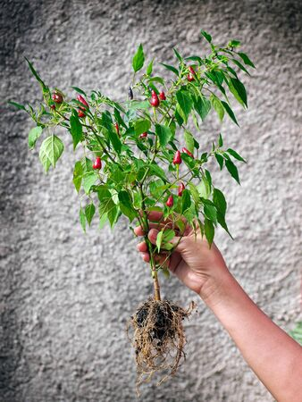 tabasco: Woman is holding whole plant with red Tabasco chilies.