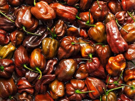 spicy cooking: Lot of Habanero Chocolate peppers in the water. Stock Photo