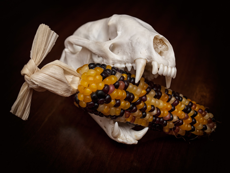 Carnivorous skull with corn cob in the jaws.