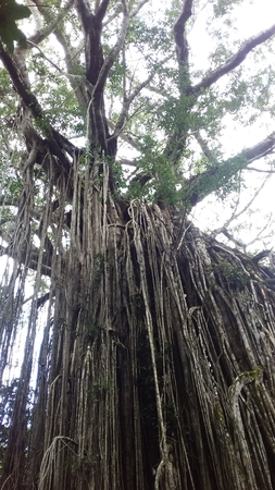 Curtain Fig Tree, Queensland