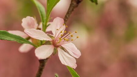 flowering Bush nut almond. almond flowers. Bush in flowers.