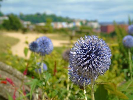 estate: Purple Dandelion with Blurred Background, Ashton Court Estate, Bristol