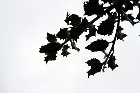 Silhouette of Holly Leaves Branch Isolated on White Background Imagens