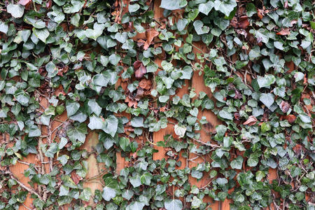 Green Ivy Climbing on Wooden Fence Background Imagens