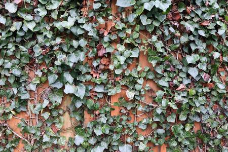 Green Ivy Climbing on Wooden Fence Background 版權商用圖片