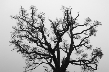 Black and White Silhouette of Oak Tree Branch Imagens