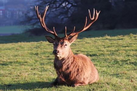 Closeup of DeerStag Lying Down on Grass, Bristol, UK