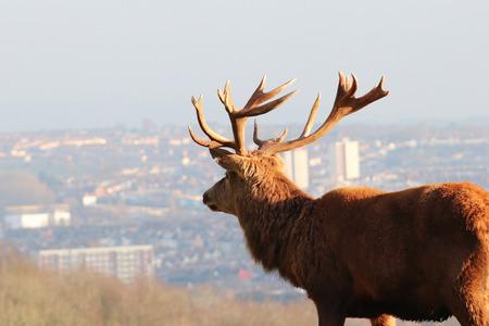 Closeup of DeerStag Overlooking City Skyline, Bristol, UK