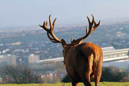 Red DeerStag Overlooking Bristol City Skyline