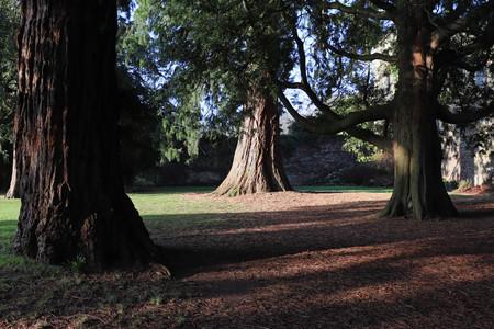 Evergreen Tree in Halo of Light