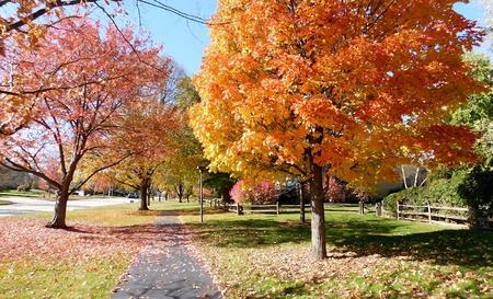 Deciduous Trees In Autumn Along The Sidewalk On A Sunny Day Stok Fotoğraf