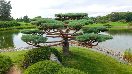 Unique Pruning Of A Pine Treetop, Lake On The Background, Botanic Garden, Chicago