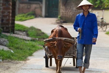 conical hat: Duong Lam Village, Vietnam - Sept 3, 2010: A Vietnamese farmer walks his water buffalo on September 3, 2010  Editorial