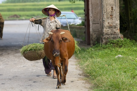 Duong Lam Village, Vietnam- Sept 3, 2010: A Vietnamese farmer walks her water buffalo on September 3, 2010 in Duong Lam Village, Vietnam.