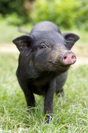 Black Piglet Stock Photo - 11623220