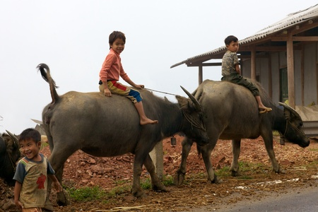 BAC HA, VIETNAM - NOVEMBER 21: Unidentified Vietnamese children riding water buffalo on road November 21, 2010 in Bac Ha, Vietnam. Children in Vietnam often ride the water buffalo while herding them.