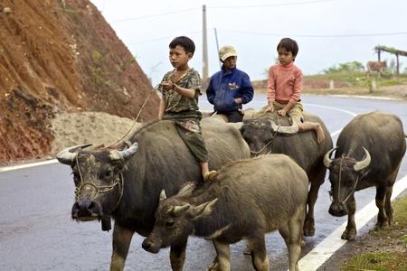 water buffalo: Bac Ha, Vietnam - November 21: Unidentified Vietnamese children riding water buffalo on road November 21, 2010 in Bac Ha, Vietnam. Editorial