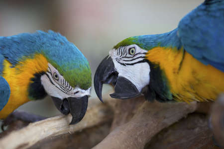 Two Macaw Parrots photo