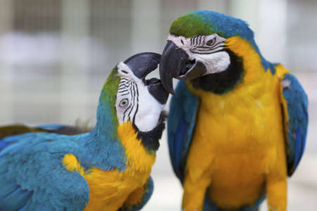 two parrots: Two Macaw Parrots