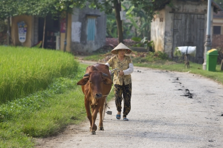 Duong Lam Village, Vietnam-Sept 3: Een Vietnamese boer loopt haar waterbuffel op 3 september 2010 in Duong Lam Village, Vietnam.