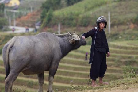 water buffalo: SAPA, VIETNAM - NOV 22: Unidentified man of the Black H Editorial