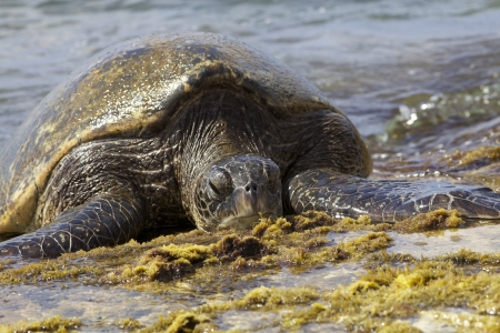 Giant Hawaiian Green Sea Turtle photo