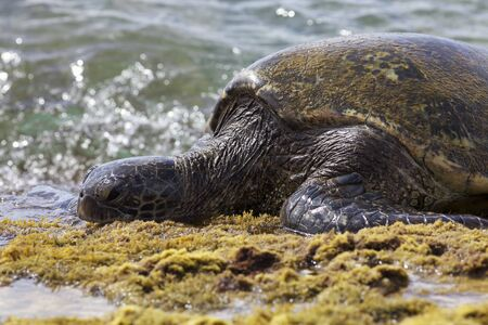 Giant Hawaiian Green Sea Turtle Stock Photo - 15059550