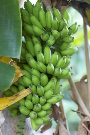 Bananas unripened on tree