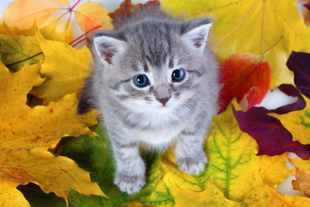 Little gray kitty sitting on yellow leaves, above view